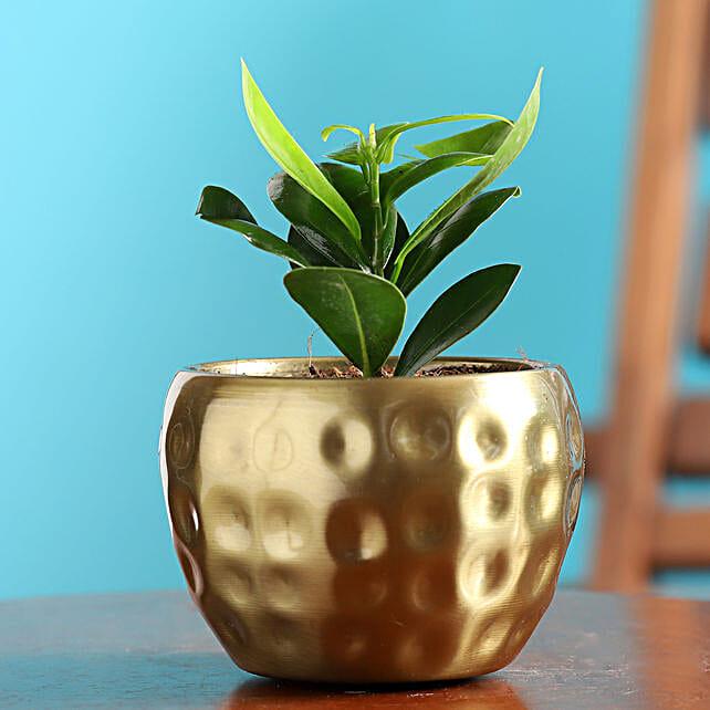 Ficus Compacta Plant In Golden Hammered Metal Pot