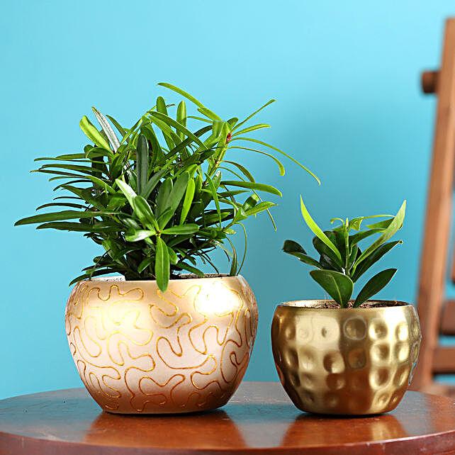 Podocarpus N Ficus Compacta Plant Combo In Metal Pot