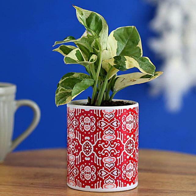 White Pothos Plant In Beautiful Printed Planter