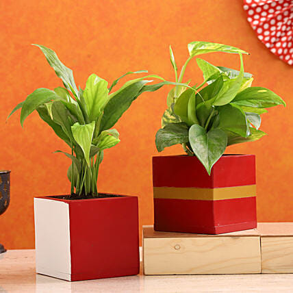 Peace Lily Money Plant Combo In Mango Wood Pots