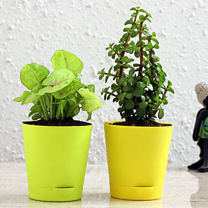 Jade Plant Syngonium Plant Combo In Self Watering Pots Hand Delivery