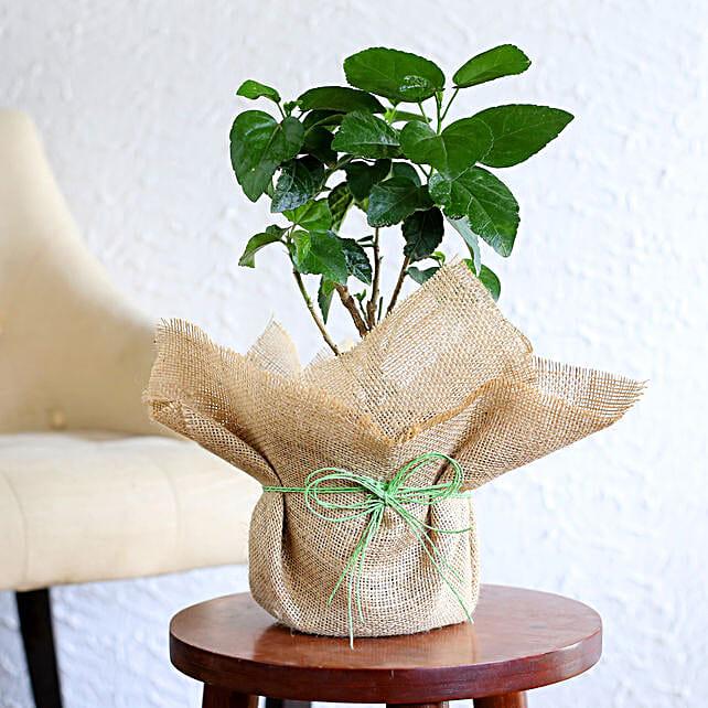 Orange hibiscus plant in a vase:Outdoor Plants