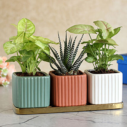 3 Refreshing Plants In Square Pots With Golden Plate:Air Purifying Plants