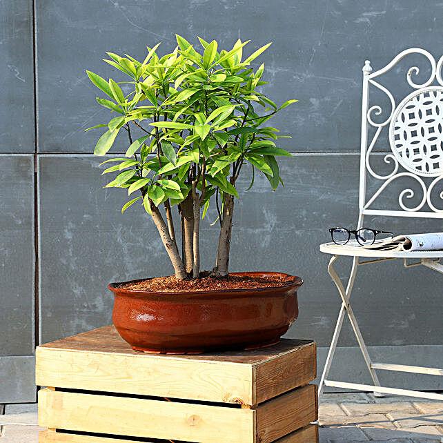 Chiku Bonsai Plant In Brown Tray Planter