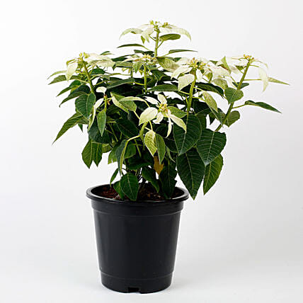 white poinsettia plant in simple pot