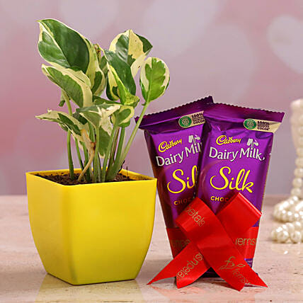 White Pothos Plant Dairy Milk Silk Combo Hand Delivery:Gift Combos For Mothers Day