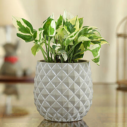 White Pothos Plant In Grey And White Oval Pot:Ceramic Planters