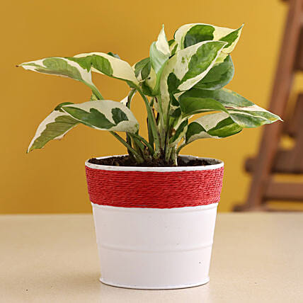 White Pothos Plant In Powder Coated Dark Pink Pot