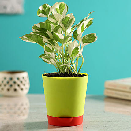 White Pothos Plant In Self Watering Green Pot Hand Delivery