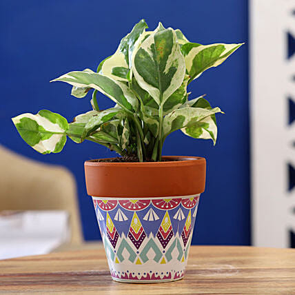 White Pothos Plant In White Blue Ceramic Pot