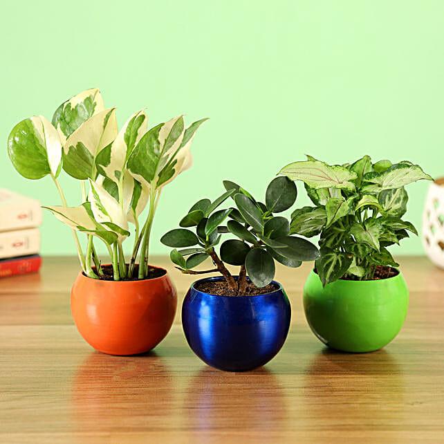 Online White Pothos Plant With Ficus Compacta & Syngonium