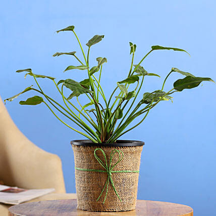 Xanadu Plant In Black Nursery Pot:Gifts for Dhanteras
