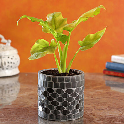 Xanadu Plant In Frosted Glass Mosaic Pot