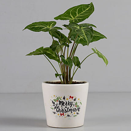 syngonium plant with personalised pot:Home Decor Gifts for Christmas