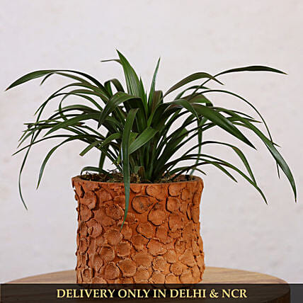 Yucca Glauca Plant In Patch Design Terracotta Pot
