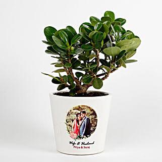 Ficus Dwarf Plant
