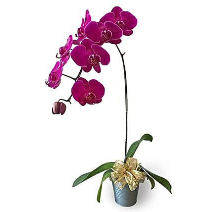 Purple Phalaenopsis Potted Orchid:Plants  in Malaysia