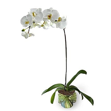 White Phalaenopsis Potted Orchid:Plants  in Malaysia