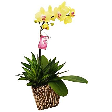 Yellow Phalaenopsis Orchid In A Pot:Plant Delivery in Malaysia