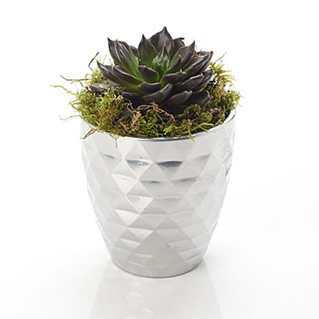 Potted Succelent Plant
