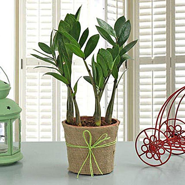 Zamia Plant:Plants  in Philippines