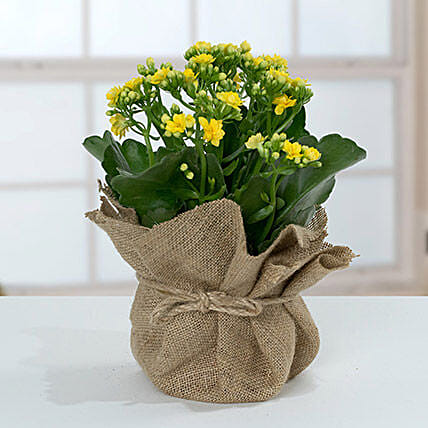 Jute Wrapped Yellow Kalanchoe Plant:Send Birthday Gifts to Qatar