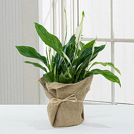 Spathiphyllum Jute Wrapped Potted Plant:Send Anniversary Gifts to Qatar