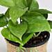Money Plant in Black Plastic Pot