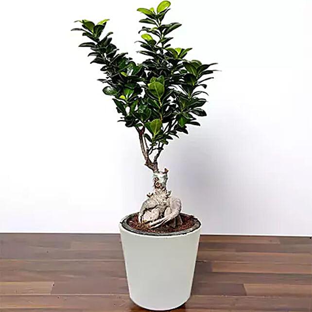 Ficus Bonsai Plant In Ceramic Pot:Plants  in Saudi Arabia