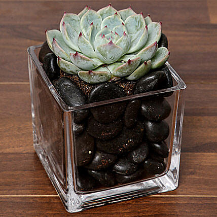 Green Echeveria Plant In Square Vase:New Year Gifts Delivery In Saudi Arabia