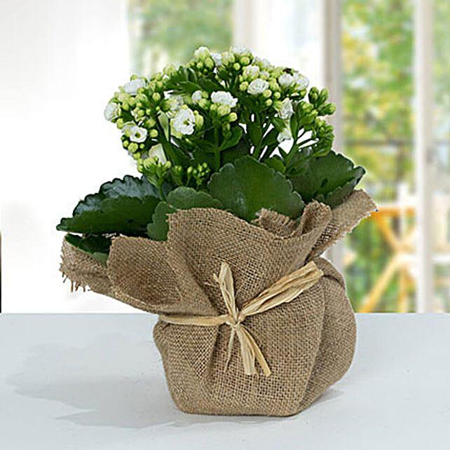 Jute Wrapped White Kalanchoe Plant