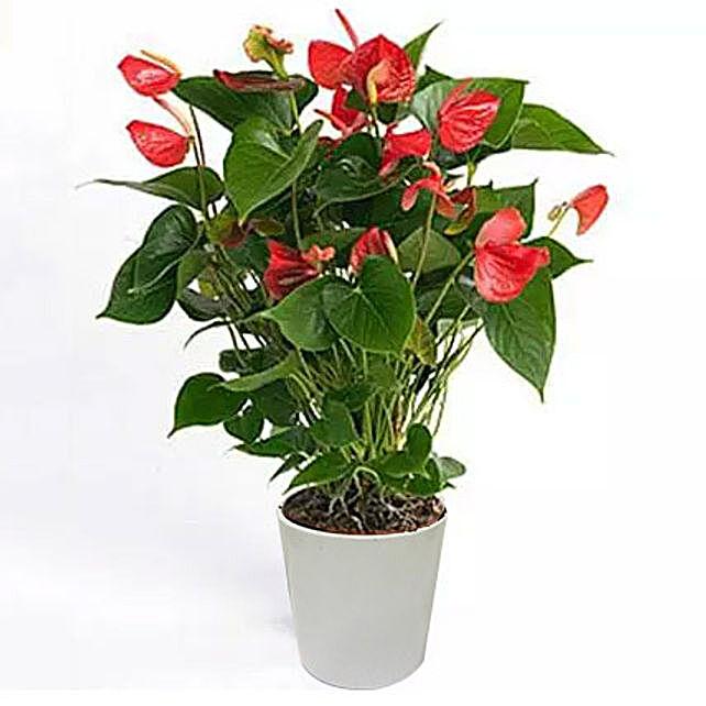 Red Anthurium In Ceramic Pot:Plants  in Saudi Arabia