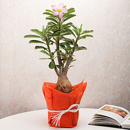 Desert Rose Adenium Plant:Plant Delivery in Singapore