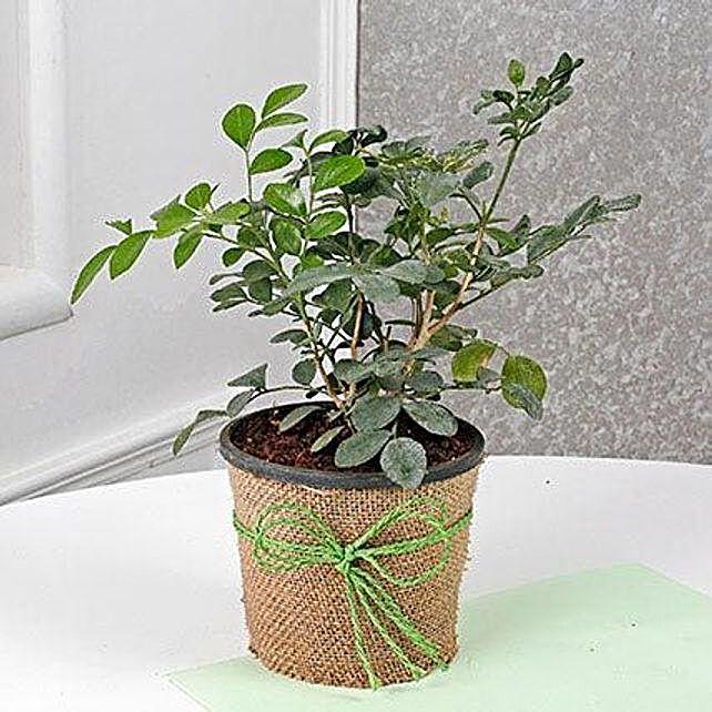 Evergreen Muraiya Exotica Dwarf Plant