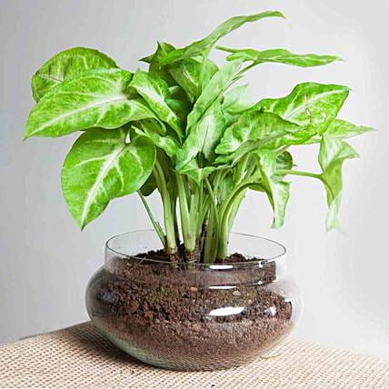 Golden Money Plant Potpourri Vase Combo:Plant Delivery in Singapore