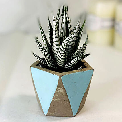 Haworthia Plant With Designer Pot:Plant Delivery in Singapore