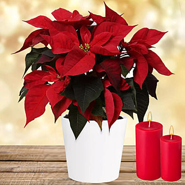Special Poinsettia Plant