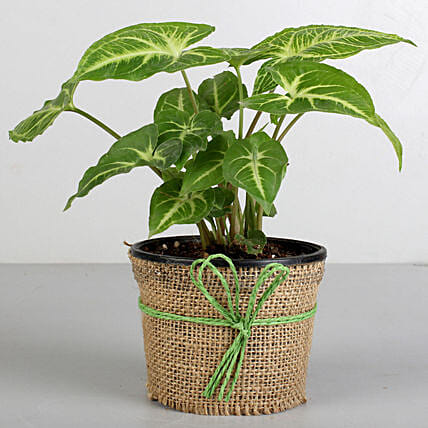 Syngonium Plant in Black Plastic Pot