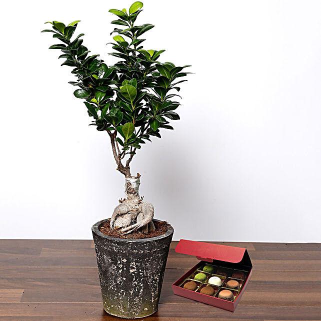 Ficus Bonsai Plant with No Sugar Chocolate
