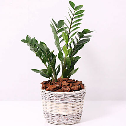 Zamia Plant in a Basket