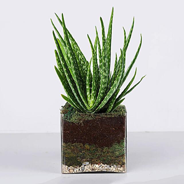 Aloe Vera Plant in Square Vase