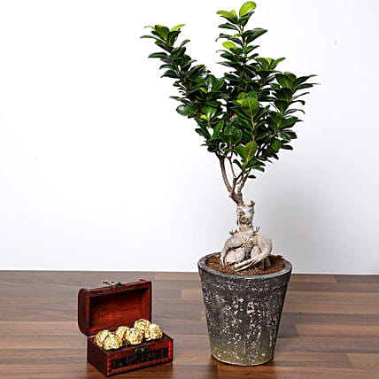 Ficus Bonsai Plant In Ceramic Pot and Chocolates