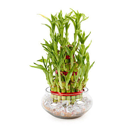 Good Luck Plant 3 Layers:Plants  in UAE