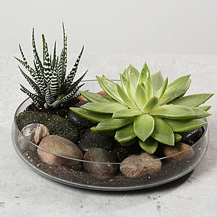 Green Echeveria and Haworthia with Natural Stones:Plants  in UAE