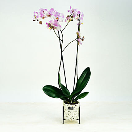 Pink Phalaenopsis Orchid Plant:Indoor Plants in UAE