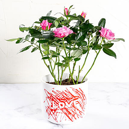 Pink Rose plant in Love Pot