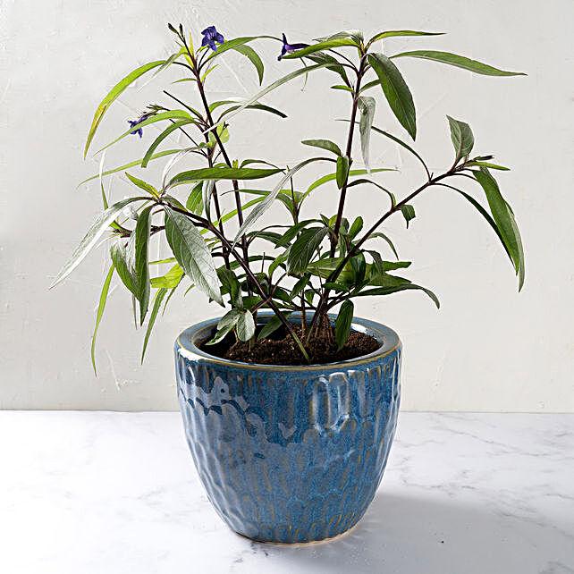 Ruella Flower Plant in Ceramic Pot