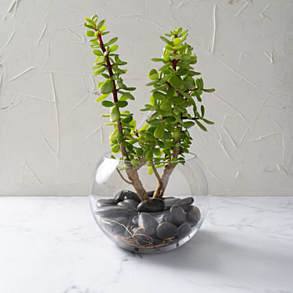 Jade Plant In Glass Bowl