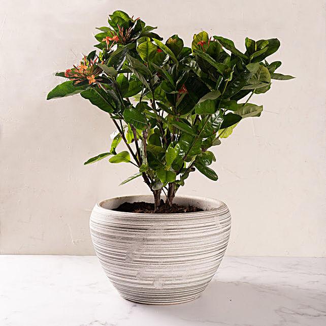 Ixora Flower Plant