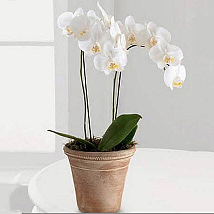 White Phalaenopsis Orchid Plant:Indoor Plants in UAE